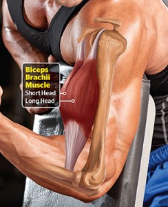 The biceps muscle is a focal point for many when it comes to determining if one is strong or not...