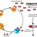 creatine2