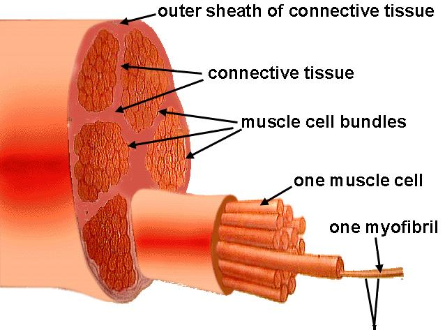the muscle fibers within | gone liftin', Muscles
